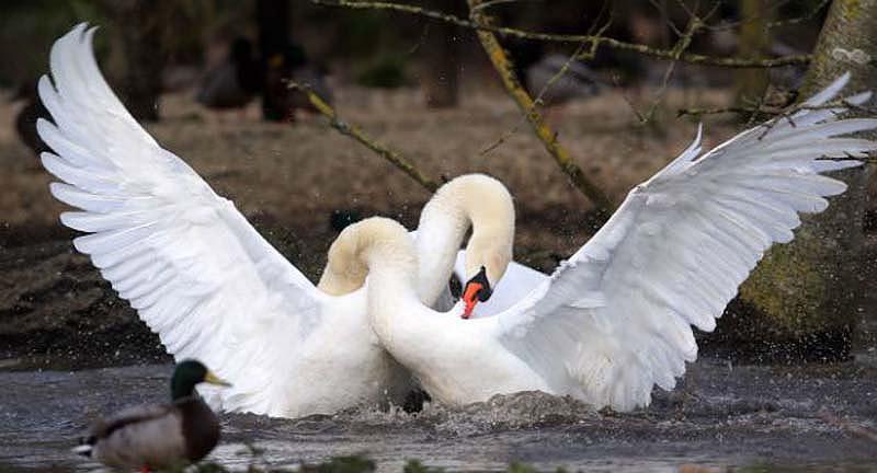 битва.двух.лебедей