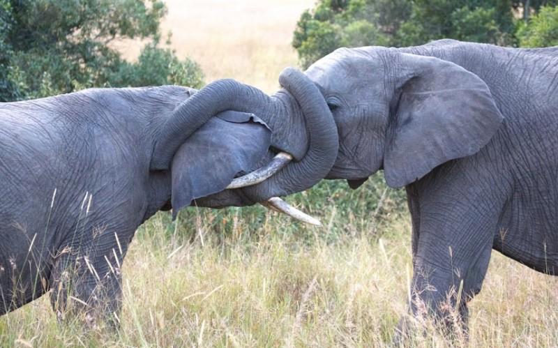 два.самца.слона