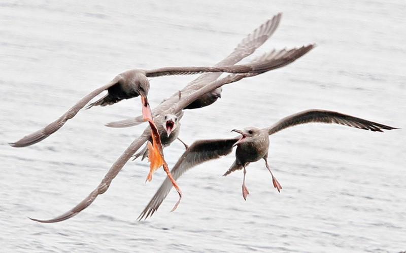 три.голодные.чайки