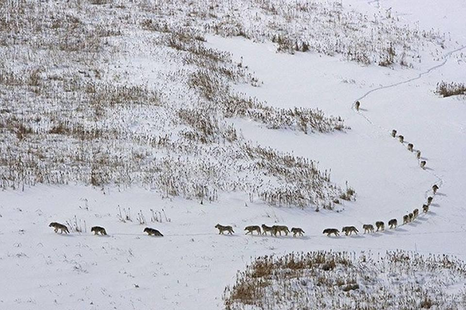 волки.идут