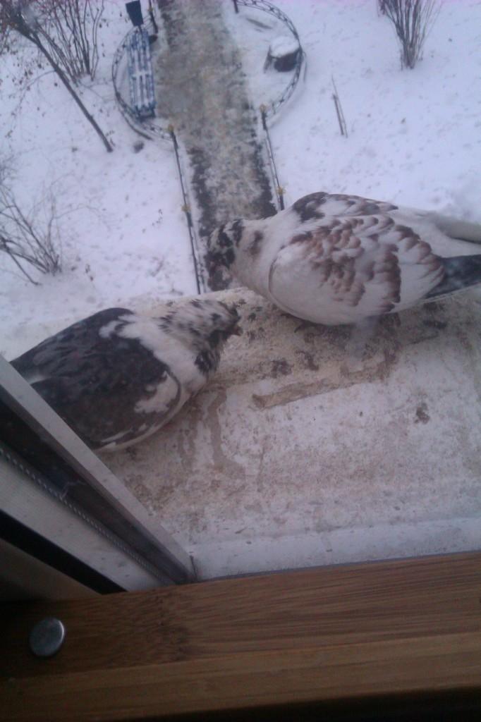 голуби.2..