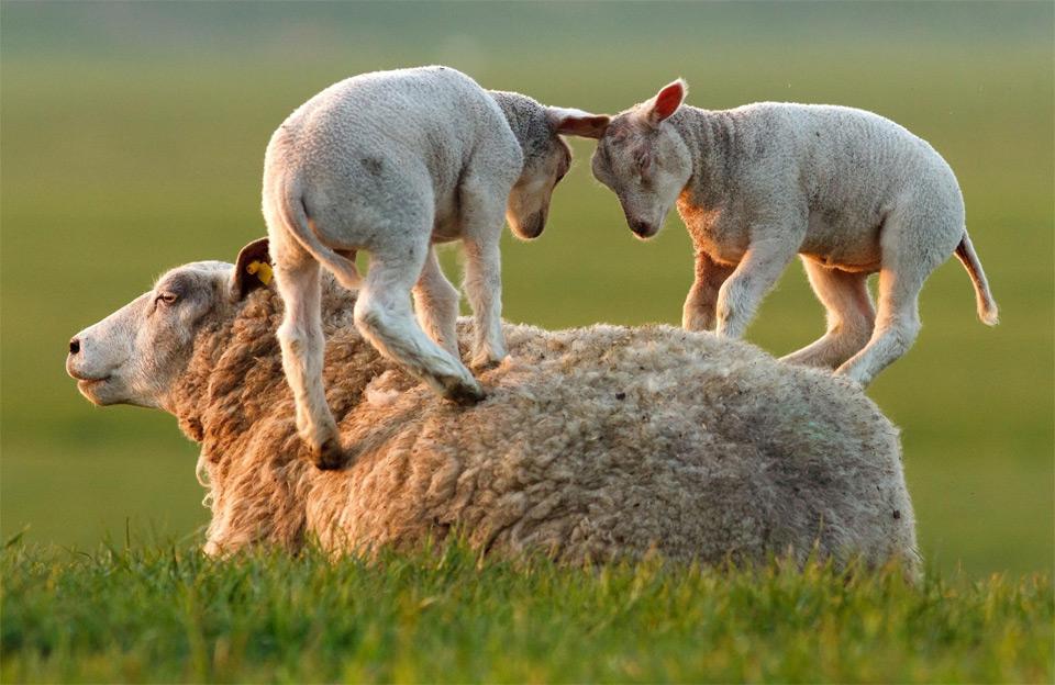 ум.овцы