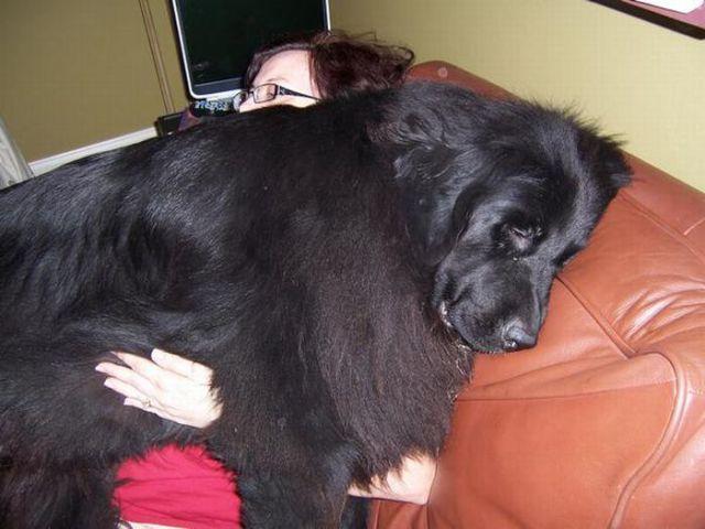 большой.собака.друг.