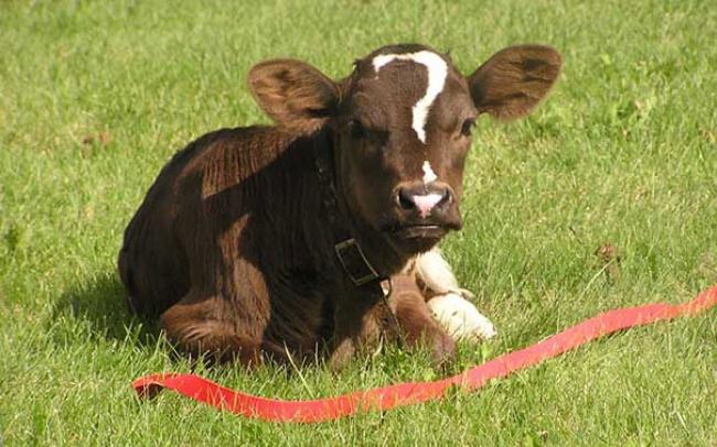 люб.корова.