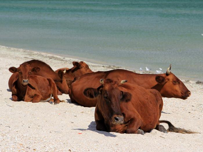 коровы.на.пляже..2..