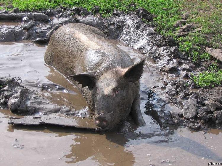 свинья.в.грязи.