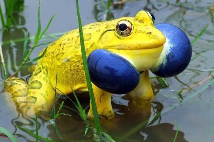 лягушк.жовт.блак